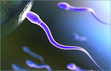 Cuánto viven los Espermatozoides